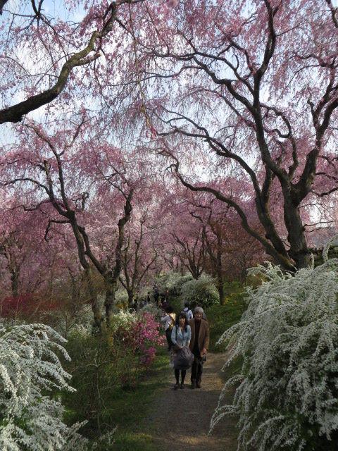 京都の桜 2014 ~チラシ寿司状態の花、花、花 ~北区大北山原谷「原谷苑」