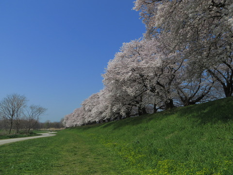 京都の桜 2014~関西ランキング1位~八幡市「淀川三川合流域」