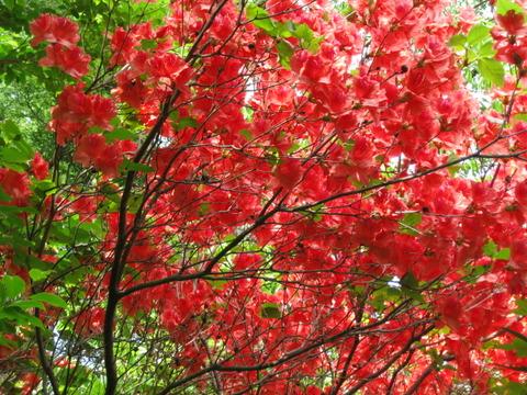 徳島県名西郡神山町/日本一規模のヒメシャガ群生「四国山岳植物園 岳人の森」