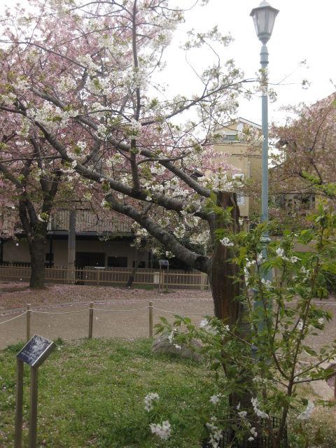 桜の聖地・櫻守笹部氏邸宅跡 後編 ~ 『岡本南公園の桜たち』