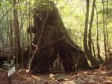 2代くぐり杉
