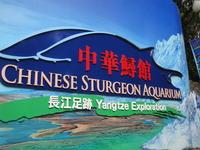 Chinese Sturgeon