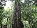 モスマン渓谷 巨木