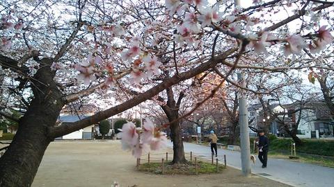 nagoya_iwakura_sakura_winter