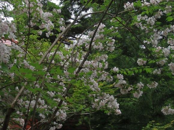 R-P6053606スイカズラ系の花和名無
