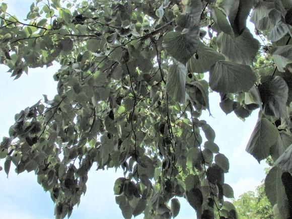 R-P6053382ハンカチの木