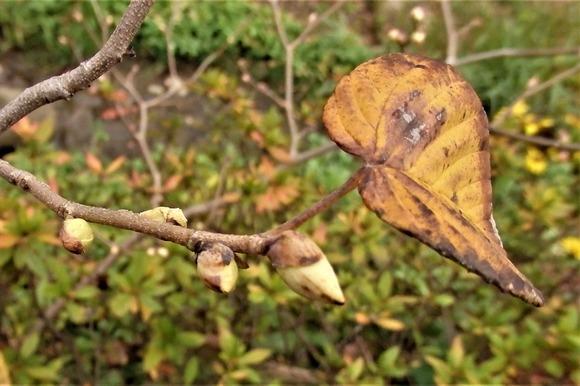 R-PB286248トサミズキの花芽
