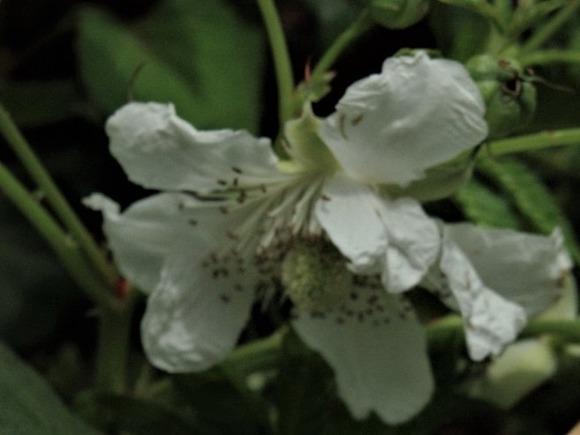 R-P6053436薔薇苺