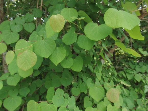 R-P6053377丸葉葵