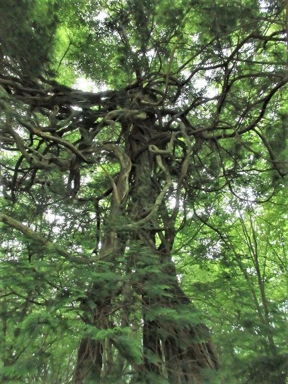 R-P6053533藤の大木