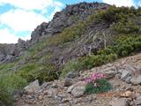 魔王岳とコマクサ