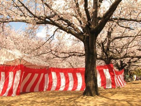 花見 ソメイヨシノ桜