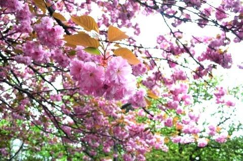 八重桜 花見