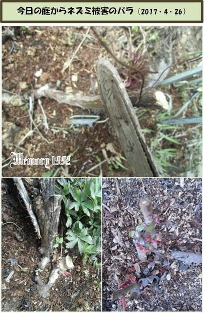 ネズミ被害のバラ