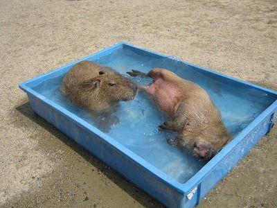 20110901kapibara1