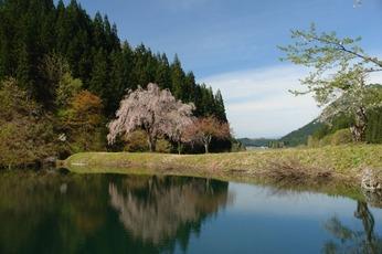 田屋の一本桜(金山町)