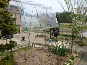 トマト植え付け