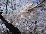 桜!満開!!