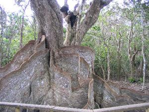 西表島のサキシマスオウの木