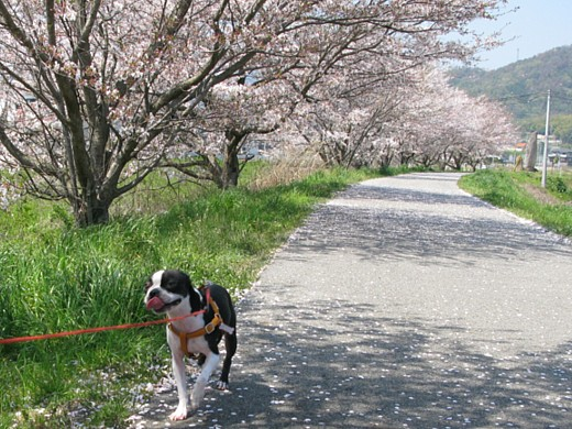 comin' chobi in the cherry blossom
