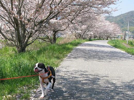 comin' chobi in the cherry blossom