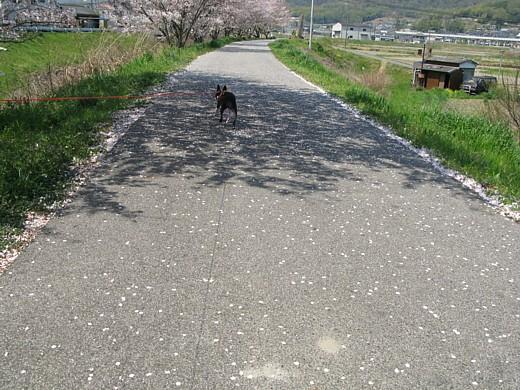 walkin' on the cherry blossom
