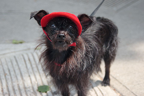 赤ずきんちゃん犬