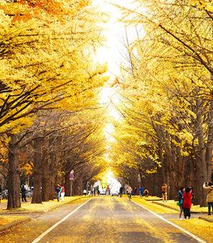 日本からやって来たイチョウが、米仏の大地に根を下ろした。火事のときの延焼を防ぐため、日本では街路樹のほか、神社仏閣に定番の木として親しまれている。