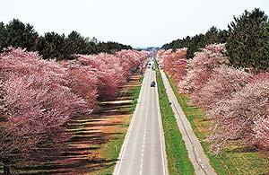 新ひだか町(静内町)の二十間桜並木