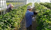 イチゴ栽培の様子