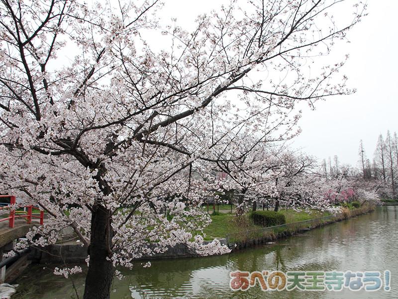 桃ヶ池公園の桜