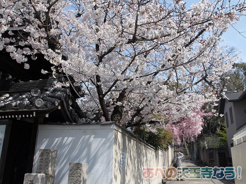 口縄坂の桜