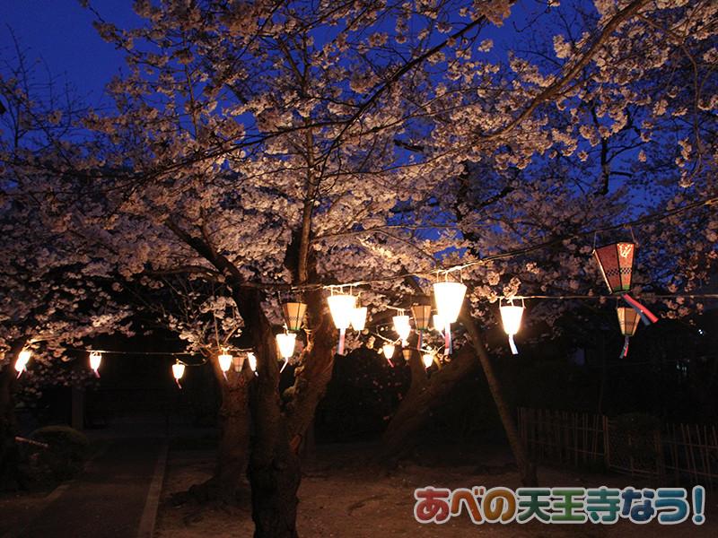 阿倍野「蓮光寺」の桜