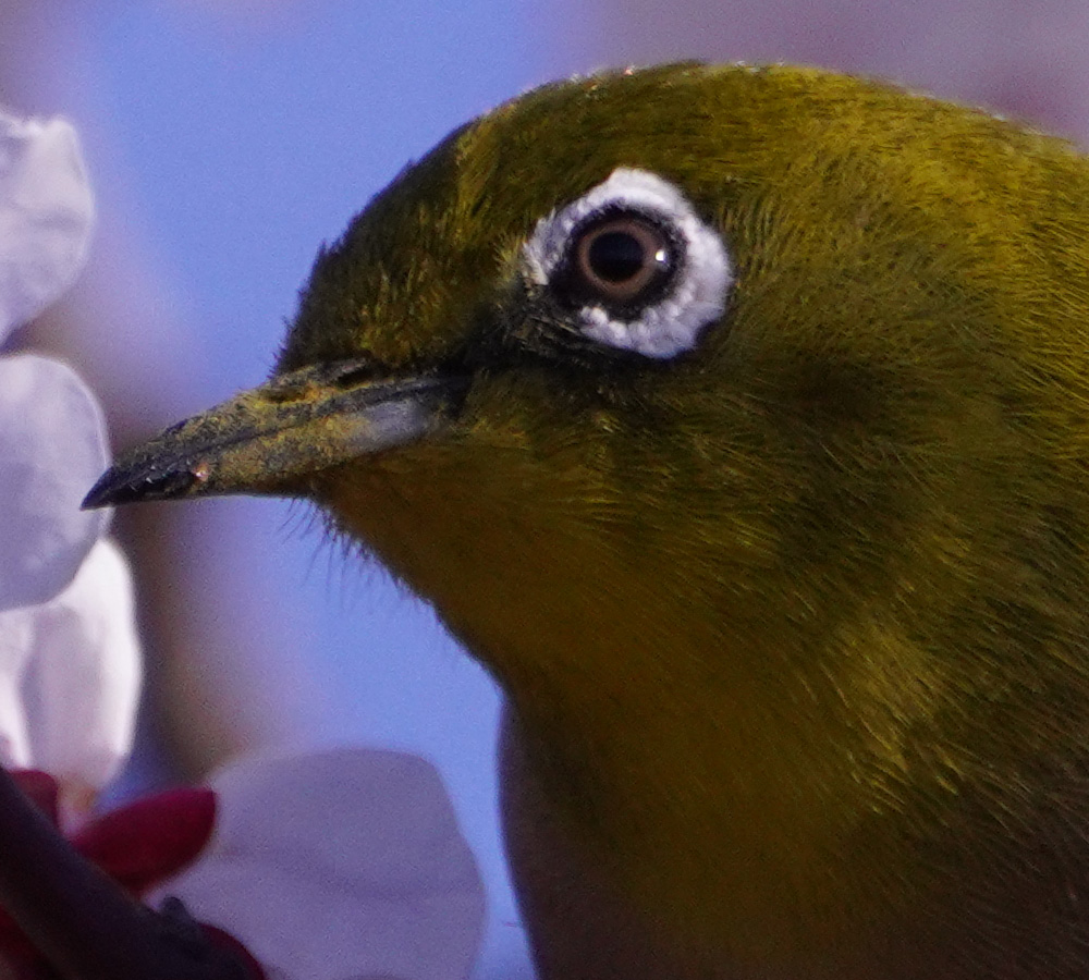 A7R4 野鳥05081_1000x900