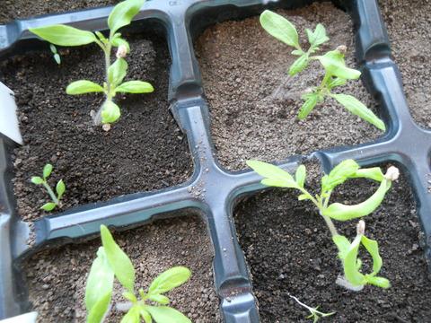 2012年5月玉ねぎトマト作付風景 003