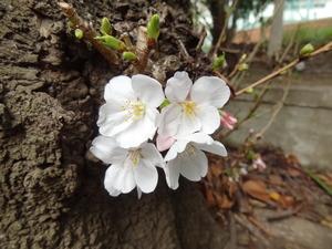 20130318-桜3