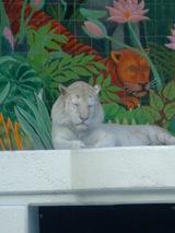 White Tiger @ Mirage