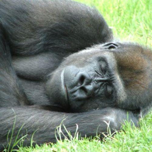 三歳児が動物園のゴリラの檻に落下→安全のためゴリラを射殺 こんなこと許されるの?