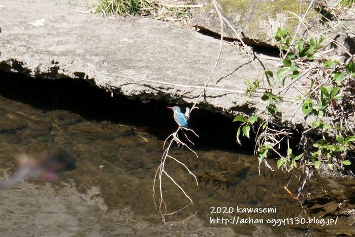 kawasemi20200321