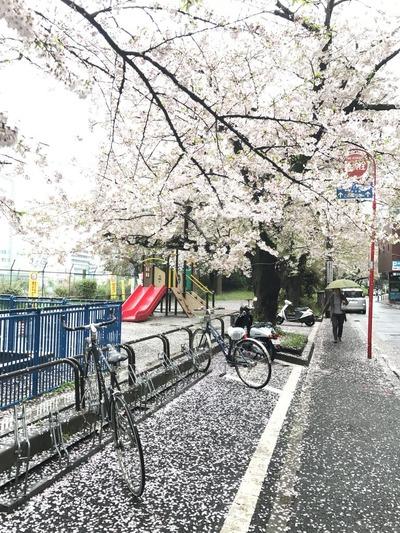 桜20170409