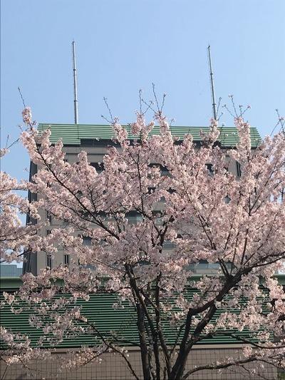防衛省前桜