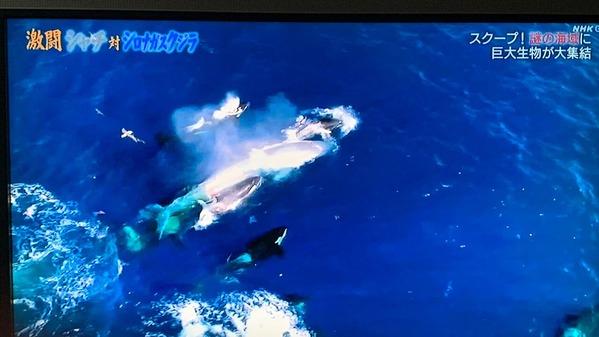 シャチとシロナガスクジラ