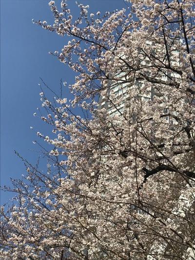 防衛省前桜1