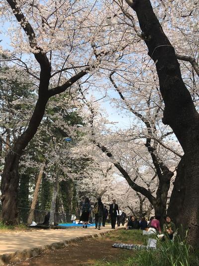 四ツ谷駅桜2