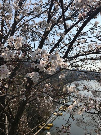 バレエ桜3