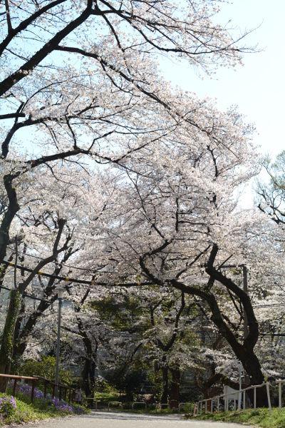 桜戸山公園20190404