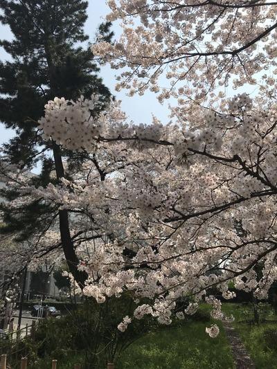 四ツ谷駅桜1