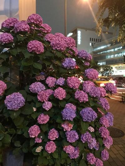 紫陽花04