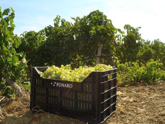 chardonnay-raccolto