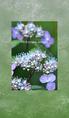 山紫陽花 main 01